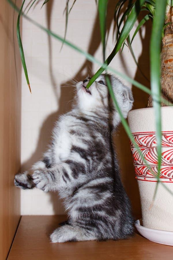 Race écossaise de couleur argent de pli de chaton rayé mangeant l'herbe se tenant sur les pattes arrières photos stock