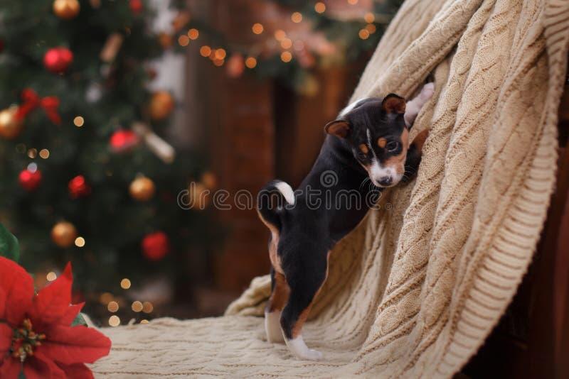 Race Basenji de chiot, Noël et nouvelle année photo stock