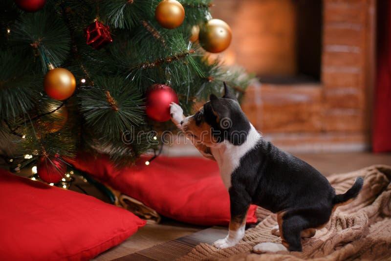 Race Basenji de chiot, Noël et nouvelle année photos libres de droits
