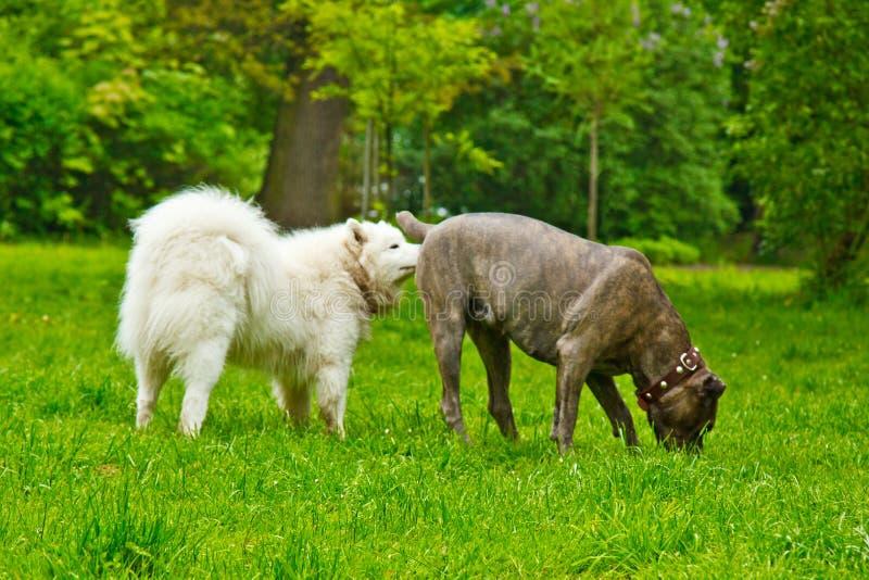 Race blanche pelucheuse de chien sammy et bouledogue espagnol jouant heureusement sur une pelouse verte marche d'animal familier photos libres de droits