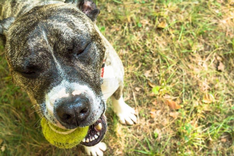 Race Boerboel de chien avec de la balle de tennis dans des ses dents sur la nature en parc en plan rapproché d'été photographie stock