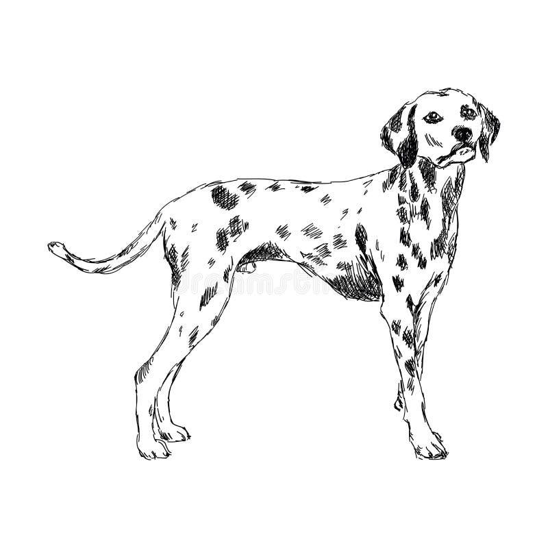 Race dalmatienne de chien illustration libre de droits