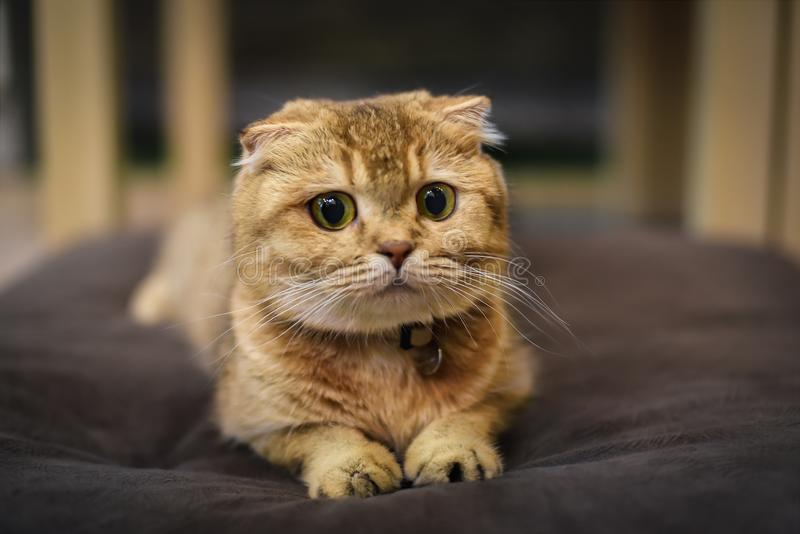 Race de chats britanniques qui sont en bonne santé et qui ont l'air belle et joyeuse images libres de droits