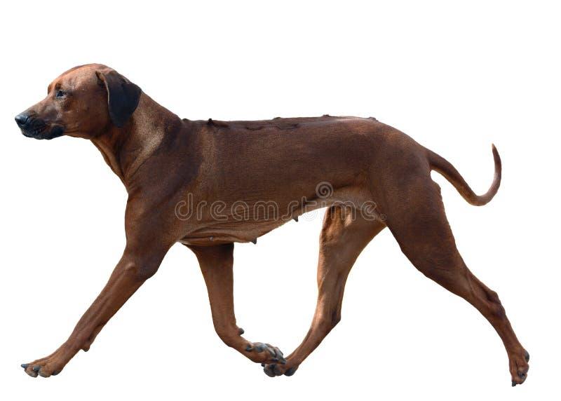 Race de chien Rhodesian Ridgeback dans le mouvement d'isolement photos stock