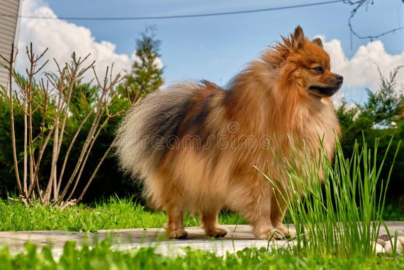 Race de chien de Spitz contre le ciel et la nature image stock