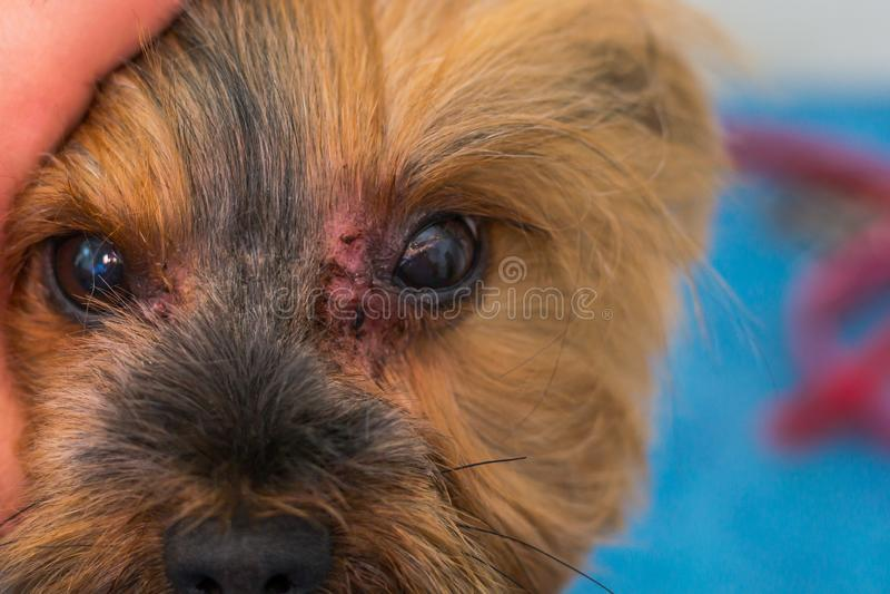 Race de chien de terrier de Yorkshire avec l'infection fongique, malassezia, autour des yeux photo stock