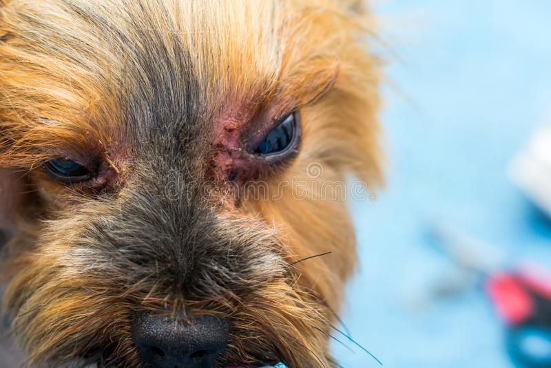 Race de chien de terrier de Yorkshire avec l'infection fongique, malassezia, autour des yeux photos stock