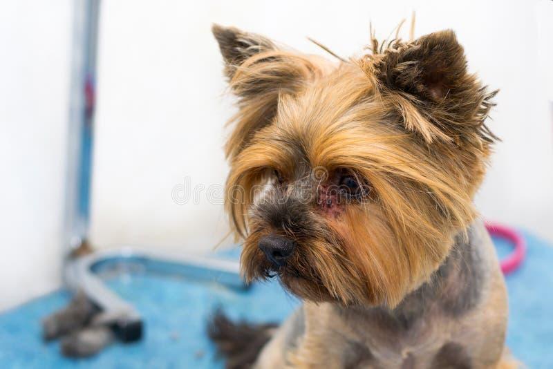 Race de chien de terrier de Yorkshire avec l'infection fongique, malassezia, autour des yeux photographie stock
