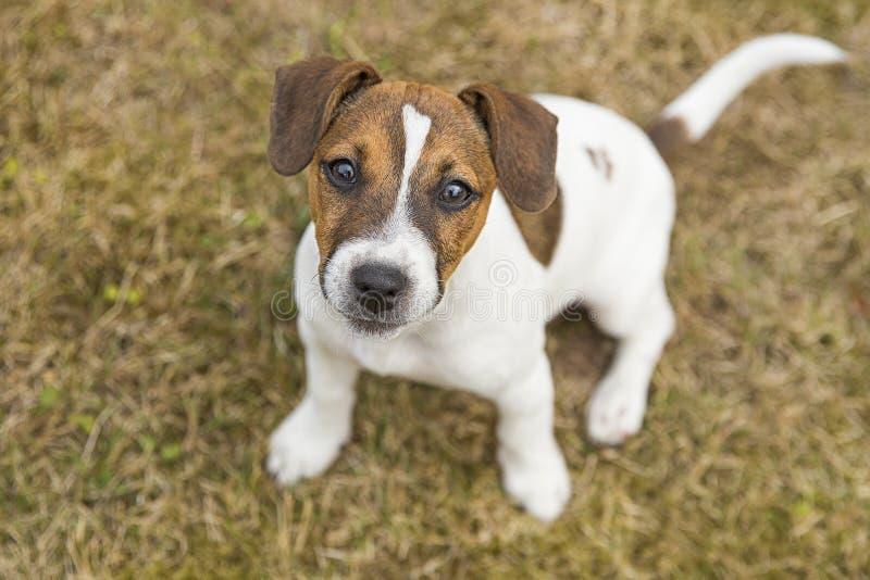 Race de trois mois Jack Russell Terrier de chiot marchant sur la pelouse ?levage de chien Animaux familiers et soin image libre de droits