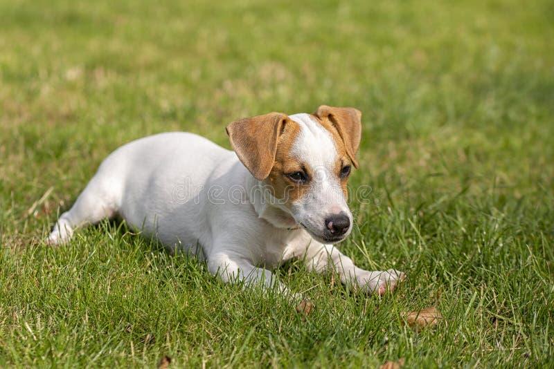 Race de trois mois Jack Russell Terrier de chiot marchant sur la pelouse ?levage de chien Animaux familiers et soin images libres de droits