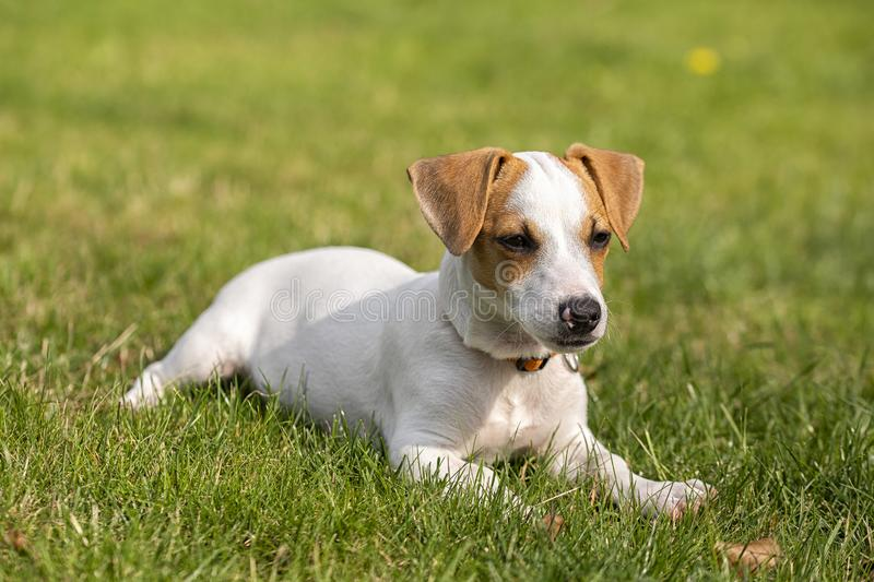 Race de trois mois Jack Russell Terrier de chiot marchant sur la pelouse ?levage de chien Animaux familiers et soin photographie stock