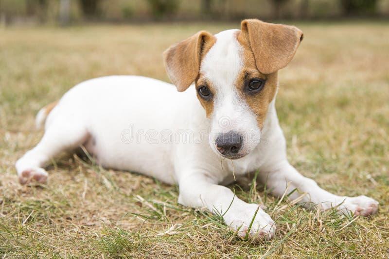 Race de trois mois Jack Russell Terrier de chiot marchant sur la pelouse ?levage de chien Animaux familiers et soin photo stock