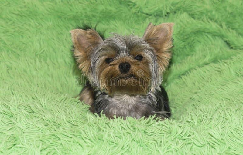 Race de Yorkshire Terrier sur un fond vert photographie stock
