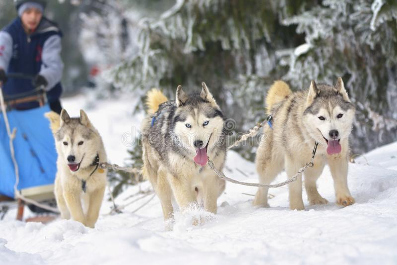 Race of draft dogs on snow. stock photos