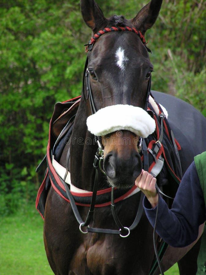 Race Horse stock image