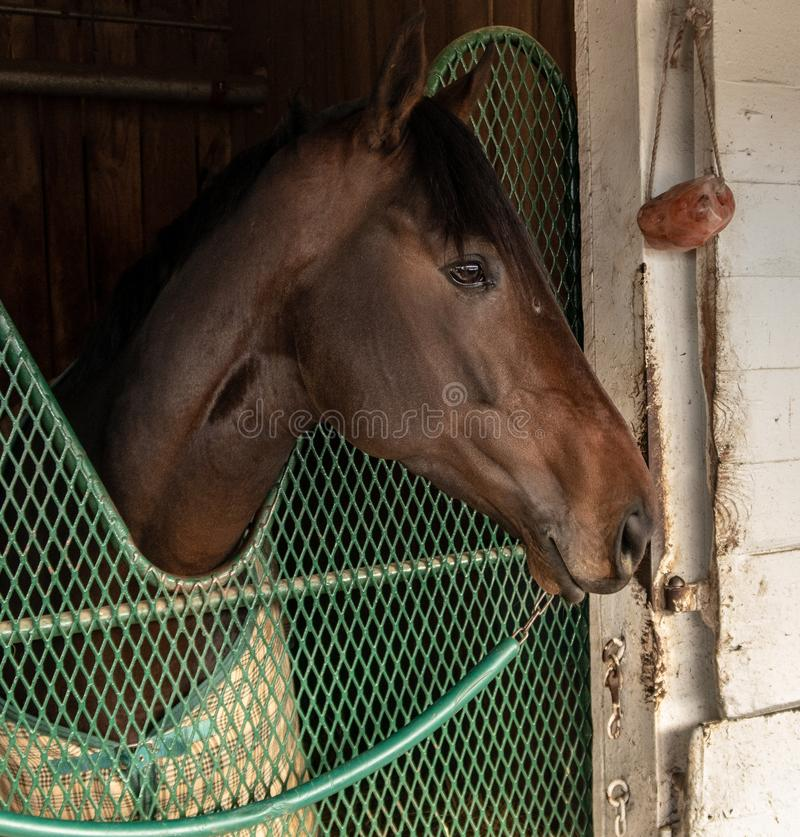A Race Horse at Churchill Downs. A race horse in a stable at Churchill Downs in Louisville, Kentucky stock images
