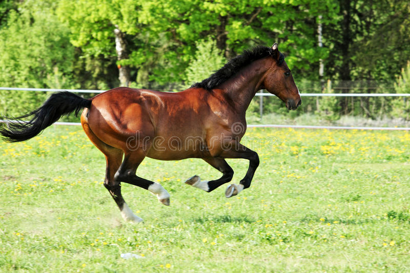 Race horse runs gallop on the meadow stock photo