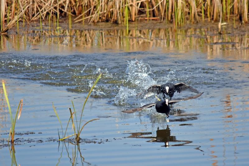Race on the lake 2. The bird of the lichen moves opponents across the lake to the liking of their choice stock image