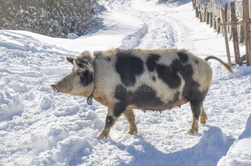 Race locale de porc de Bulgare Truie balkanique est avec la cloche images stock