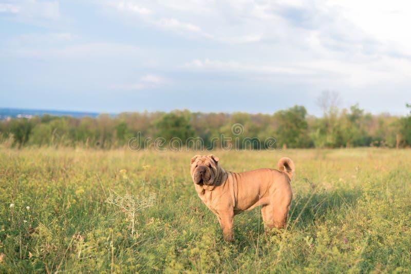 Race Sharpei de chien dans le domaine dans l'herbe au coucher du soleil photos stock