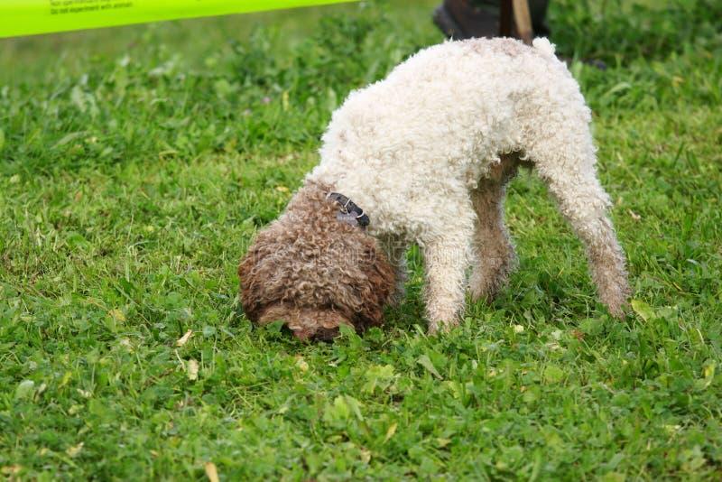 Race truffle dogs. Italy eat tools royalty free stock photos