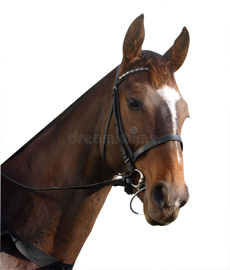 Download Racehorse Portrait stock image. Image of mammal, sport - 9565589