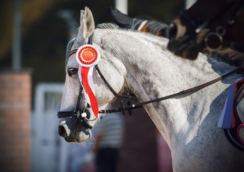 A racehorse stands at the awards ceremony with a red rosette as a sign of victory stock photo