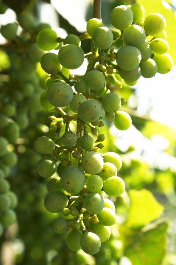 racemation виноградины стоковые изображения rf