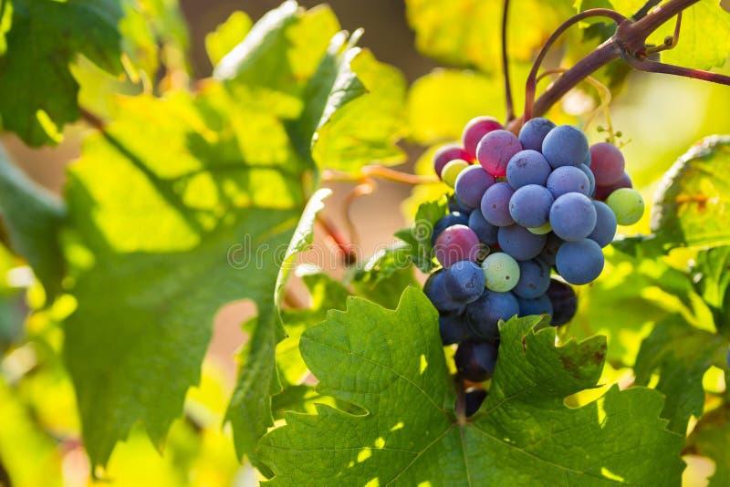Raceme виноградины Primitivo di Manduria, органический виноградник в Salento, естественных условиях, Апулии, Италии стоковые изображения