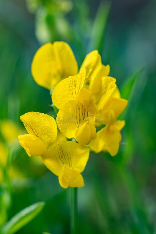 Raceme pratensis Lathyrus vetchling луга Желтые цветки дальше стоковые изображения rf