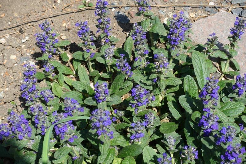 Racemes densos de flores púrpuras de los reptans del Ajuga imagenes de archivo
