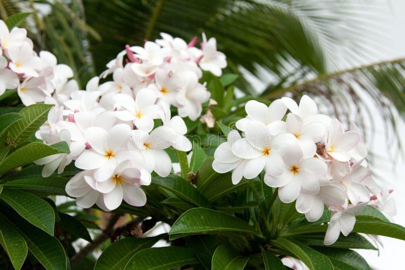 Racemes till magnolias arkivfoto
