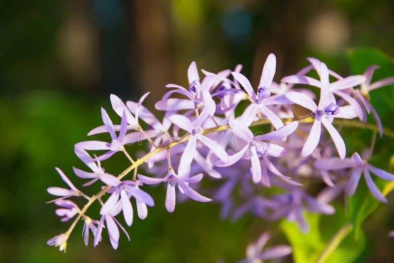 Racemosa de Petrea fotos de stock