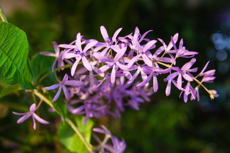 Racemosa de Petrea imagem de stock royalty free