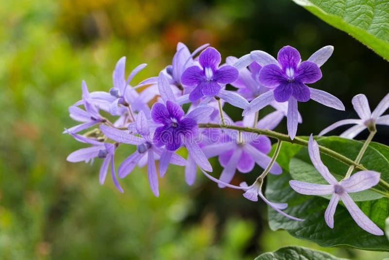 Racemosa de Petrea, grinalda roxa ou flor da videira da lixa imagem de stock