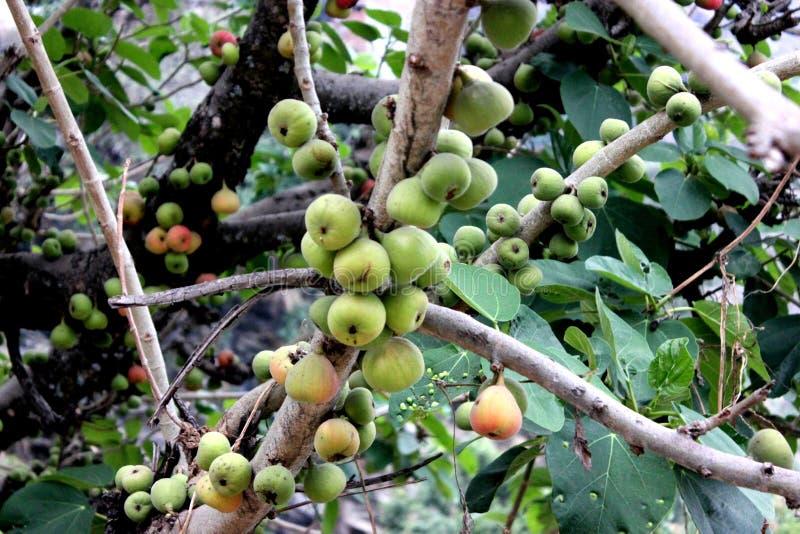 Racemosa di ficus, fico del mazzo, albero di fico d'India, Goolar fotografie stock
