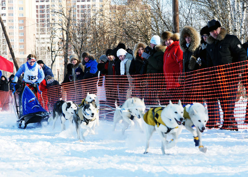 Races. RUSSIA, MOSCOW - FEBRUARY 19: Participants compete in arrival Races on the dog teams Strong spirit February 19, 2009 in Moscow, Russia royalty free stock images