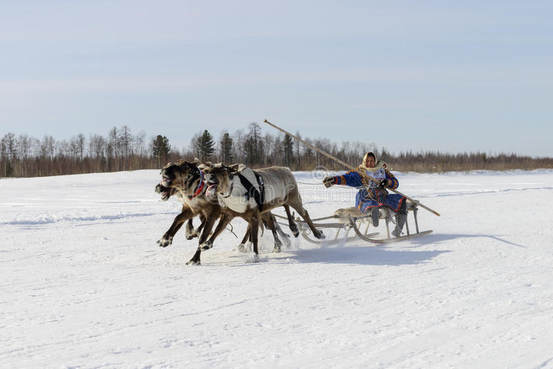 Races on reindeer sled in the Reindeer Herder's Day on Yamal. Tarko-Sale, Russia - April 2, 2016: National competitions, races on reindeer, on Day of reindeer stock photography