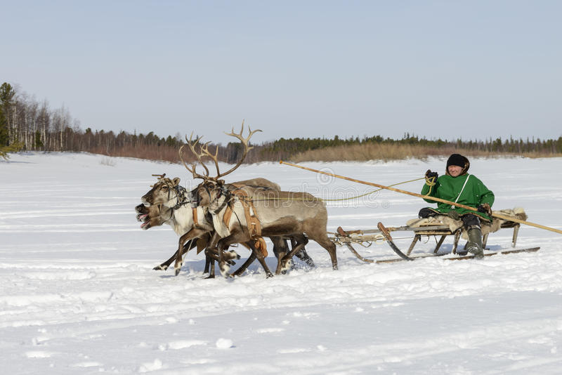 Races on reindeer sled in the Reindeer Herder's Day on Yamal. Tarko-Sale, Russia - April 2, 2016: National competitions, races on reindeer, on Day of reindeer royalty free stock image