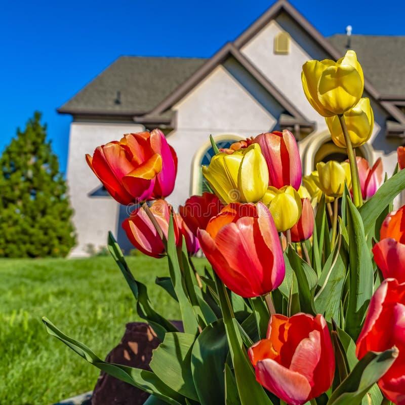 Racimo cuadrado del capítulo de capítulo de tulipanes del deslumbramiento con un césped enorme y una casa preciosa en el fondo imagen de archivo