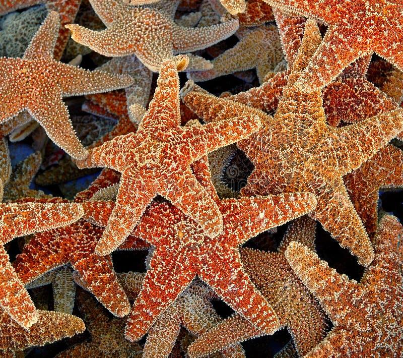 racimo de estrellas de mar imágenes de archivo libres de regalías