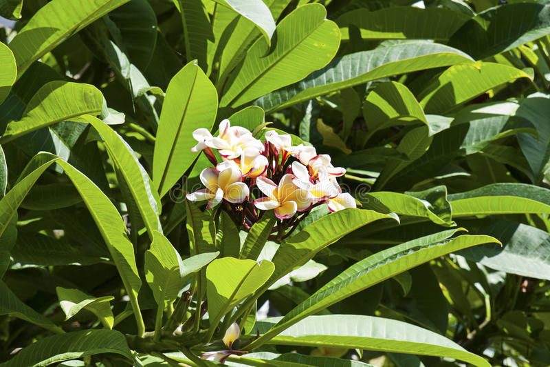 Racimo de flores exóticas del Frangipani imagen de archivo libre de regalías