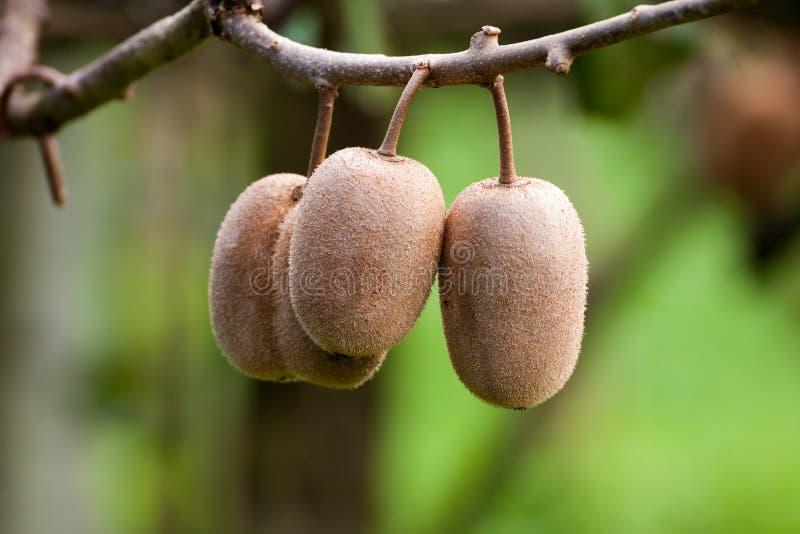 Racimo de fruta de kiwi madura en la rama fotos de archivo libres de regalías