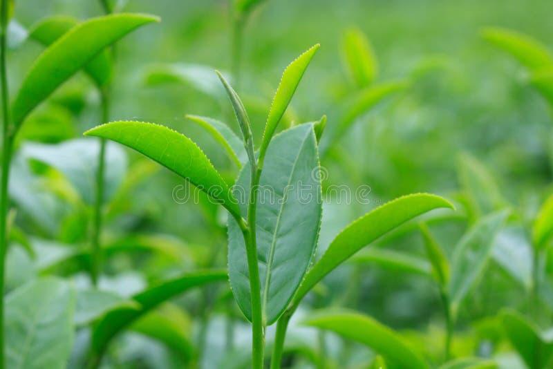 Racimo de hoja de té verde joven en el campo del té, plantaciones de té fotografía de archivo