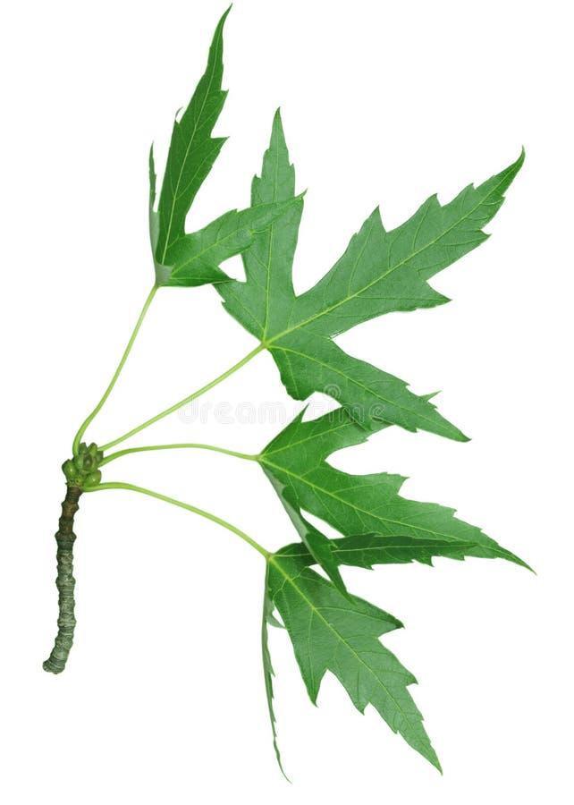 Racimo de hojas de arce foto de archivo