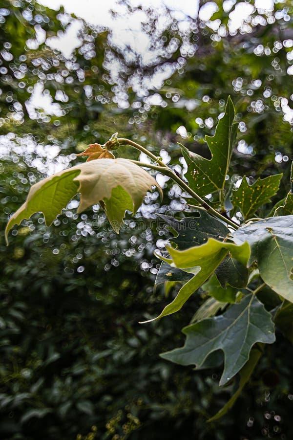 Racimo de la hoja en el extremo de la ramita de un árbol del sicómoro en primavera fotos de archivo libres de regalías