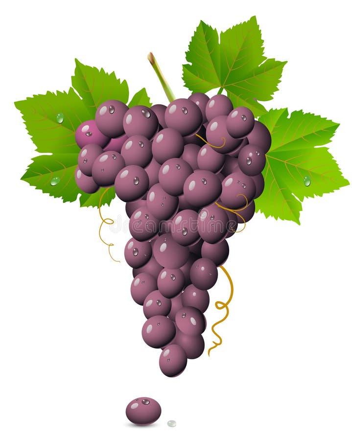 Racimo de la uva ilustración del vector