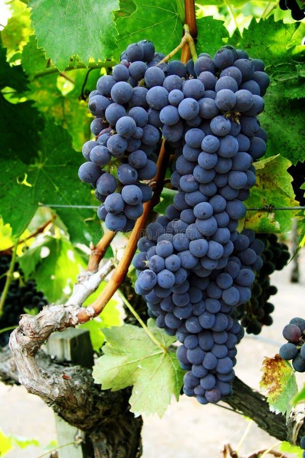 Racimo de la uva en una vid fotos de archivo libres de regalías