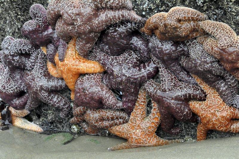 Racimo de las estrellas de mar imagenes de archivo
