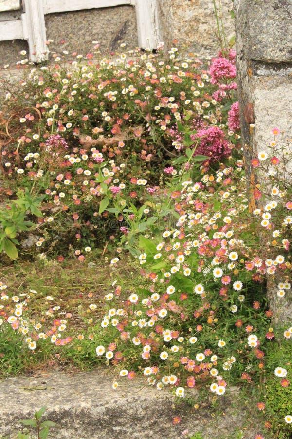 Racimo de margaritas del rosa y blancas en los pasos de piedra fotografía de archivo libre de regalías
